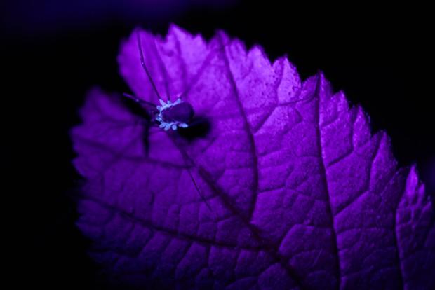 Daddy longlegs under black light at night. - PHOTO BY ANTHONY WESTKAMPER