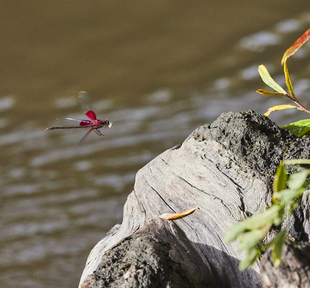 The last shot I'll get of one of these rubyspots until next summer. - PHOTO BY ANTHONY WESTKAMPER