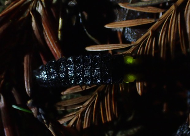 Glow worm on redwood needles. - PHOTO BY ANTHONY WESTKAMPER