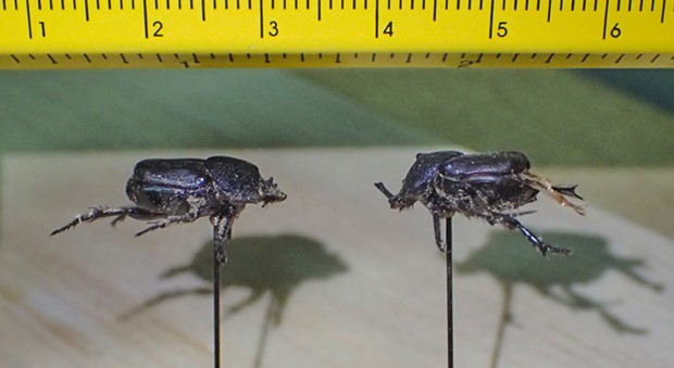 Life size image of the beetles. They're both a little more than 1 centimeter long. - PHOTO BY ANTHONY WESTKAMPER