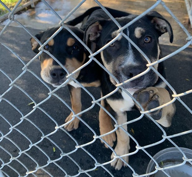 These two puppies were stolen from Miranda's Rescue. - HCSO