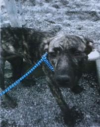 Lucy the pitbull mix. - HCSO
