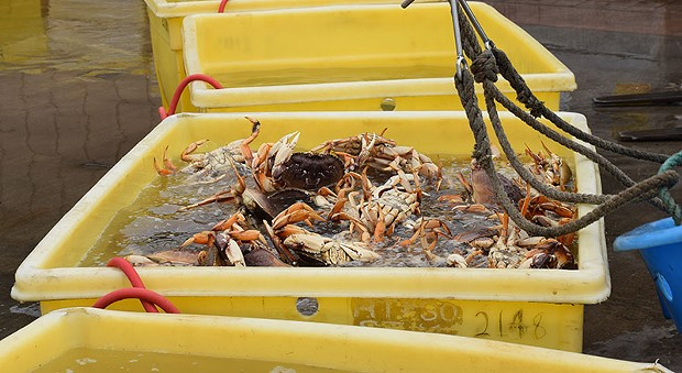 Our local Dungeness crab in Humboldt, where they should belong. - JENNIFER FUMIKO CAHILL
