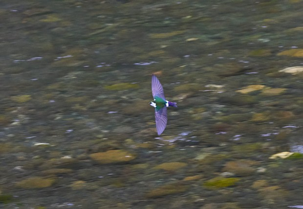 Violet-green swallow (Tachycineta thalassina) —an obligatory insectivore. - PHOTO BY ANTHONY WESTKAMPER