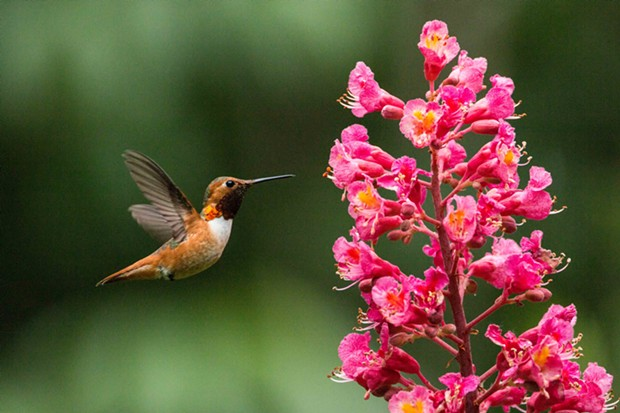 Rufous hummingbird (Selasphorus rufus) known to supplement their diet with flying insects and line their nests with spider silk. - PHOTO BY ANTHONY WESTKAMPER