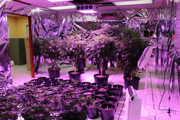 Nearly 1,000 growing cannabis plants were found. - HCSO