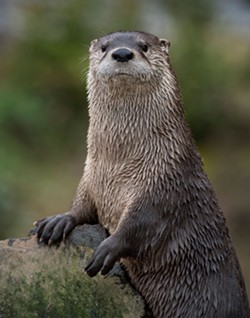 Otters have become a perennial favorite at the Sequoia Park Zoo. - GREG NYQUIST