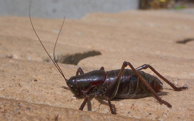 Male Mormon cricket in Nevada in 2004. - PHOTO BY ANTHONY WESTKAMPER