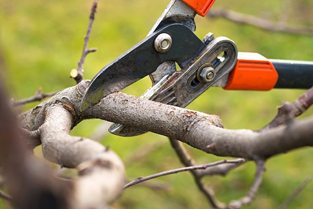 Pruning fruit trees during chilly-weather downtime. - SHUTTERSTOCK