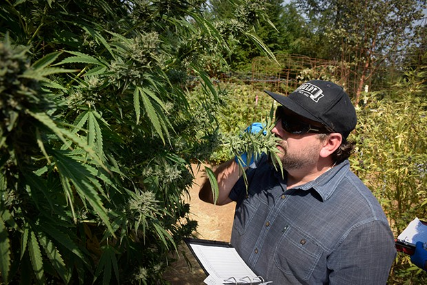 Humboldt Seed Co. founder Nat Pennington evaluating plants. - PHOTO BY THADEUS GREENSON