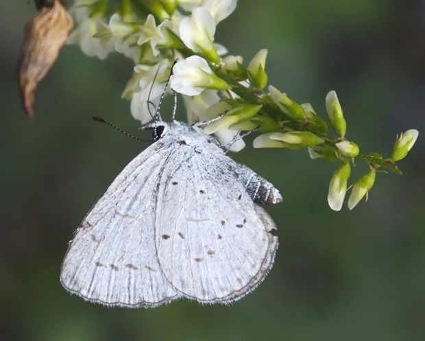 Celastrina echo butterfly as we usually see them. - PHOTO BY ANTHONY WESTKAMPER