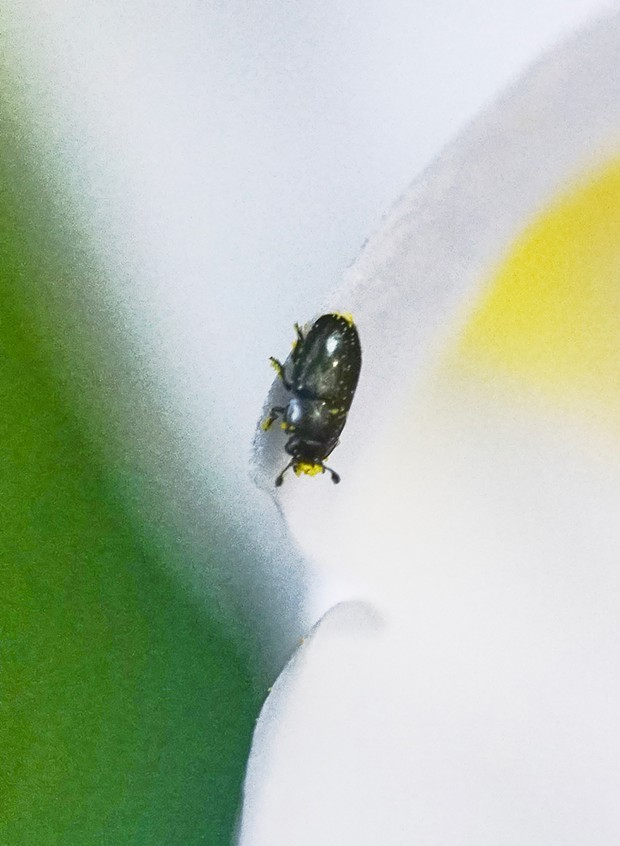 Tiny pollen beetle. - PHOTO BY ANTHONY WESTKAMPER