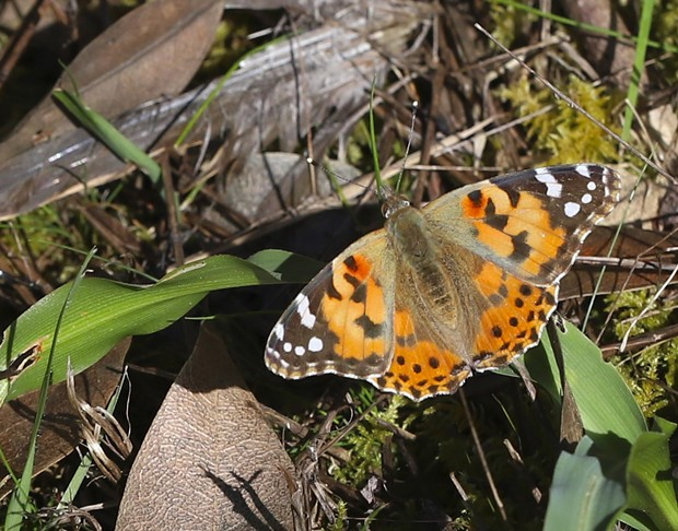 Painted lady is probably the most cosmopolitan of butterflies. - PHOTO BY ANTHONY WESTKAMPER