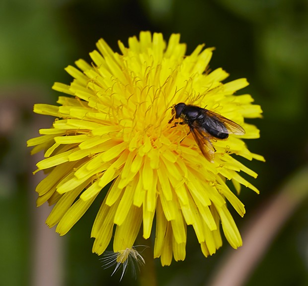 This unidentified shiny black fly also carries pollen between flowers. - PHOTO BY ANTHONY WESTKAMPER
