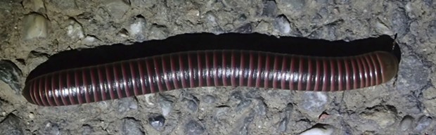 Big millipede (Tylobolus uncigerus?) nearly 4 inches long. Most likely what the lady was hunting. - PHOTO BY ANTHONY WESTKAMPER