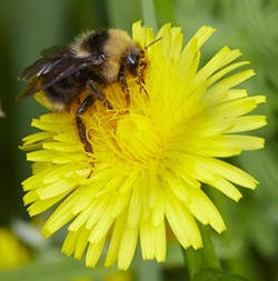 A bumblebee on a dandelion. - PHOTO BY ANTHONY WESTKAMPER
