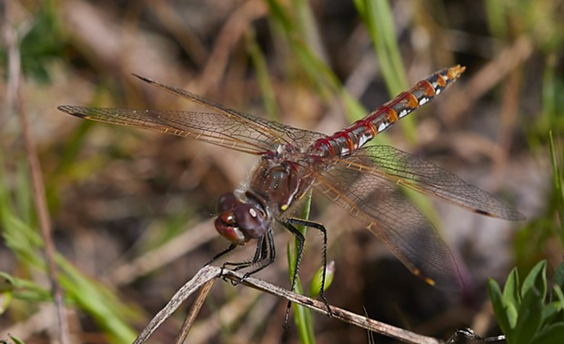 Variegated meadowhawk (Sympetrum corruptum). - PHOTO BY ANTHONY WESTKAMPER