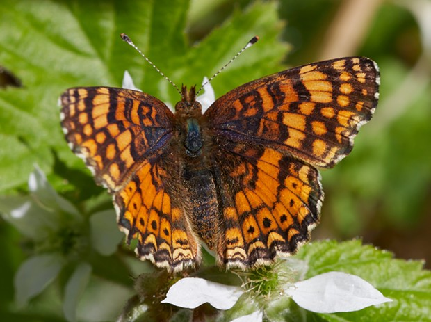 Mylitta crescent (Phyciodes mylitta) on wild blackberry flower. - PHOTO BY ANTHONY WESTKAMPER