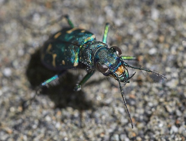 Western tiger beetle (Cicindela oregonia). - PHOTO BY ANTHONY WESTKAMPER