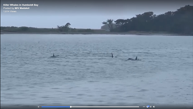 Orcas were spotted in Humboldt Bay. - SCREENSHOT FROM MADAKET VIDEO