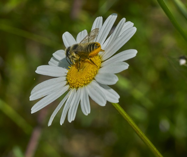Leaf cutter bee. Note where she carries pollen for her brood. - PHOTO BY ANTHONY WESTKAMPER