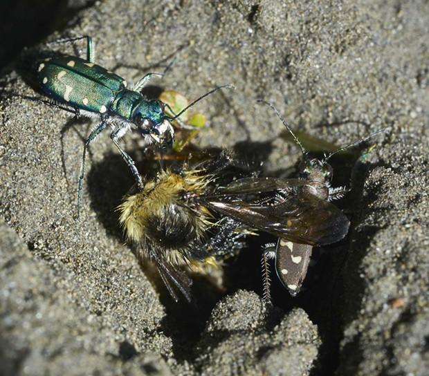 Two color morphs of the western tiger beetle (Cicindela oregona,) scavenge a dead bee. - PHOTO BY ANTHONY WESTKAMPER