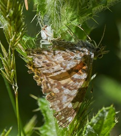 A painted lady butterfly captured by a crab spider. - PHOTO BY ANTHONY WESTKAMPER