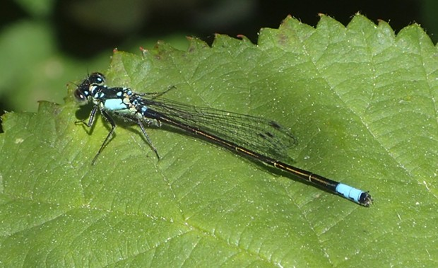 Pacific forktail. - PHOTO BY ANTHONY WESTKAMPER