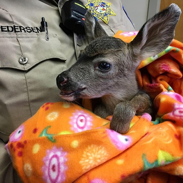 A young deer spent the morning at the sheriff's office after its mother was killed by a car.