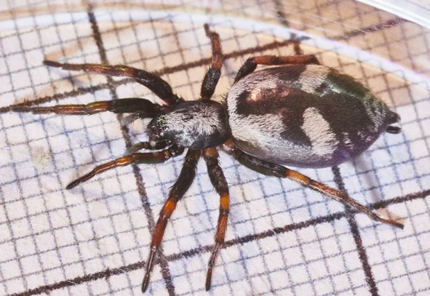 The small squares underneath this ground spider Sergiolus montanas are 1 millimeter. - ANTHONY WESTKAMPER