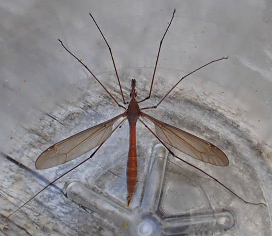 A giant crane fly with its wings spread to show its abdomen. - ANTHONY WESTKAMPER