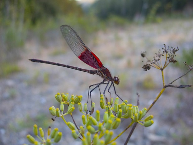 Male American rubyspot damselfly. - PHOTO BY ANTHONY WESTKAMPER