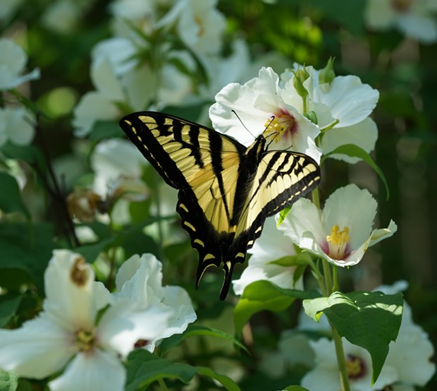 Western tiger swallowtail (Papilio rutulus). - PHOTO BY ANTHONY WESTKAMPER