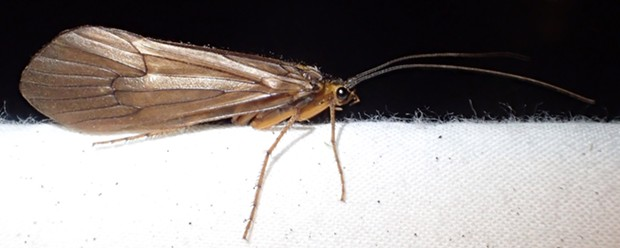 A rather large adult specimen at a light trap. - PHOTO BY ANTHONY WESTKAMPER