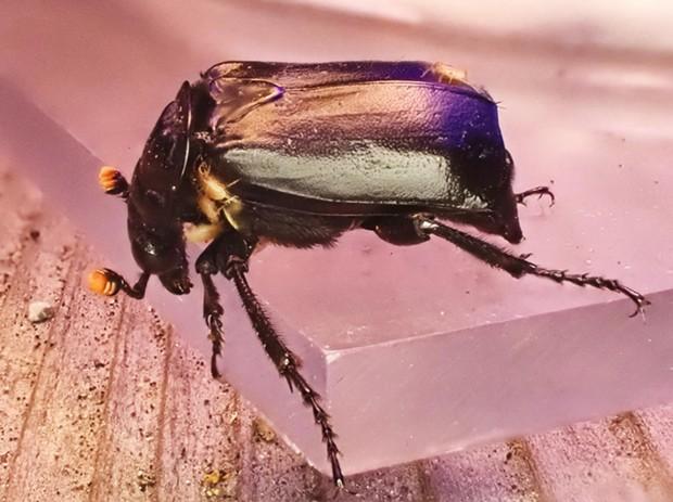 Like an entomological Uber nicrophorus beetle hosts traveling mites. - PHOTO BY ANTHONY WESTKAMPER