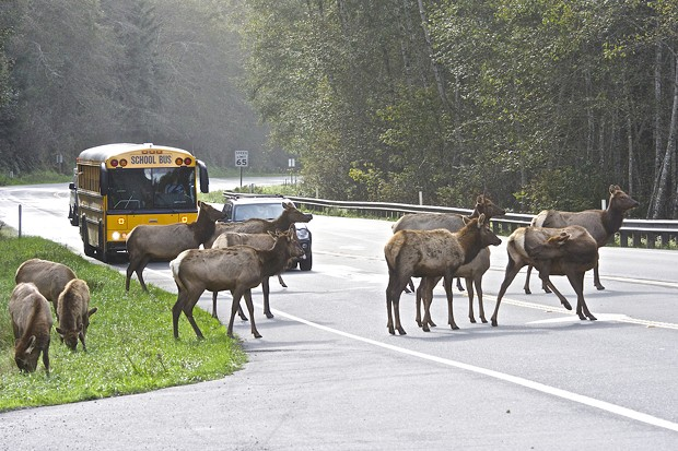 A school bus traveling north toward Orick gives students a little extra study time as elk cross U.S. Highway 101 near Big Lagoon. - FILE