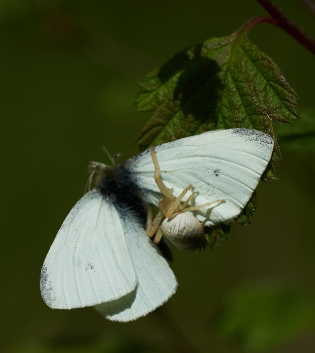 Goldenrod crab spider (Misumena vatia) consumes common garden pest, cabbage butterfly (Pieris rapae). - PHOTO BY ANTHONY WESTKAMPER