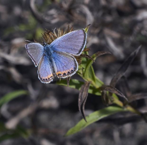 Acmon blue. - PHOTO BY ANTHONY WESTKAMPER