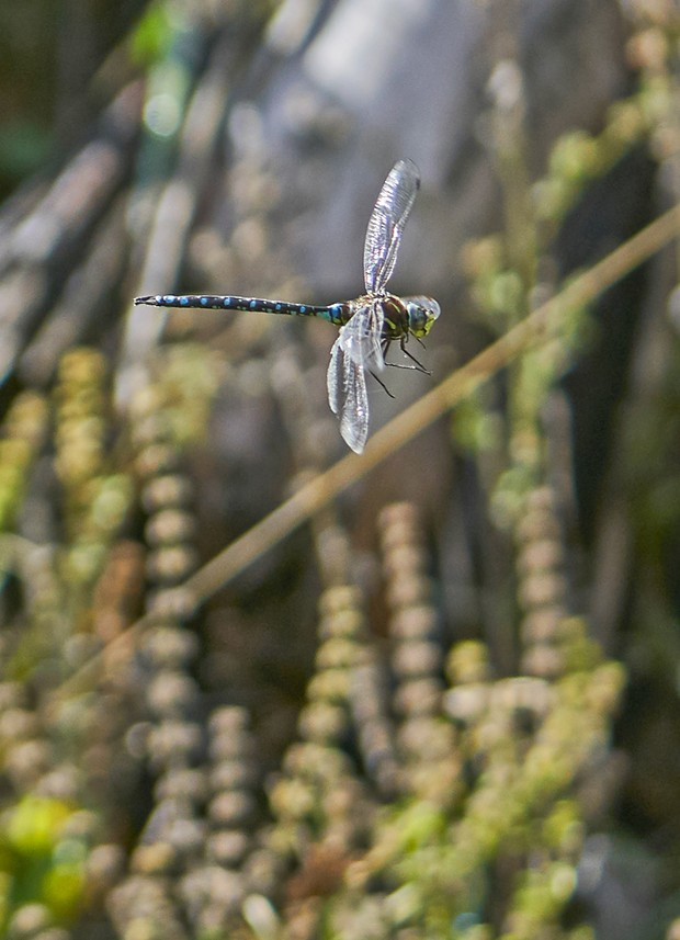 Darner dragonfly, species not determined. - PHOTO BY ANTHONY WESTKAMPER