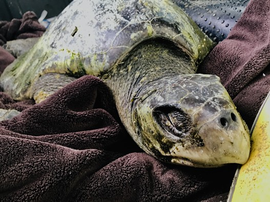 While Olive Ridley sea turtles typically weigh around 40 pounds, Donatello was emaciated when found, weighing in at an estimated 25 pounds. - ISHAN VERNALLIS
