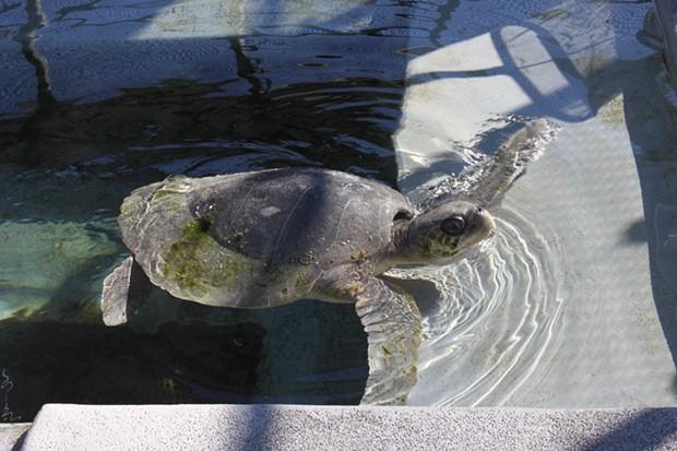 Donatello taking a rehabilitative swim at a Sausalito veterinary hospital. - THE MARINE MAMMAL CENTER