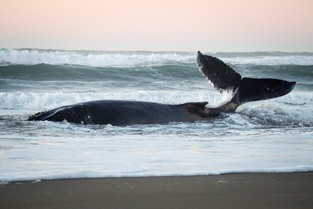 A humpback whale that was found beached just north of Samoa, California on Wednesday struggles in the surf. The whale had become tangled in fishing nets and a crab pot. - MARK MCKENNA