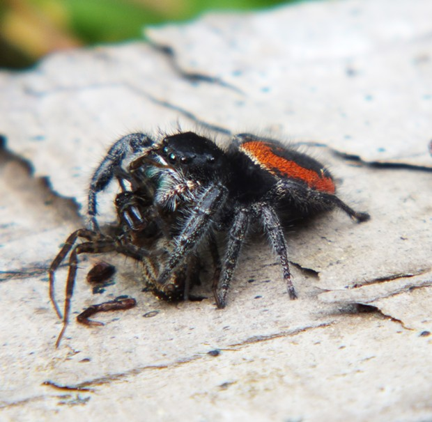 Jumping spider dines on an unfortunate wolf spider. - PHOTO BY ANTHONY WESTKAMPER