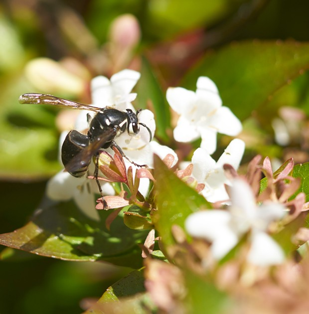 Bald faced hornet sips nectar. - PHOTO BY ANTHONY WESTKAMPER