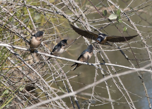 Swallow parent feeding regurgitated bugs to its young. - PHOTO BY ANTHONY WESTKAMPER