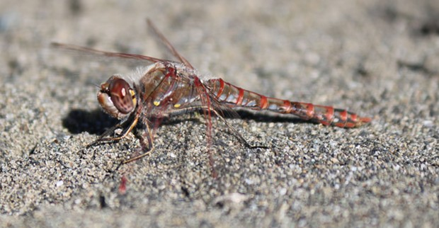 Variegated meadowhawk taken Christmas Eve a year ago. - PHOTO BY ANTHONY WESTKAMPER
