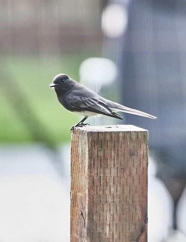 Black Pheobe (I think). - PHOTO BY ANTHONY WESTKAMPER
