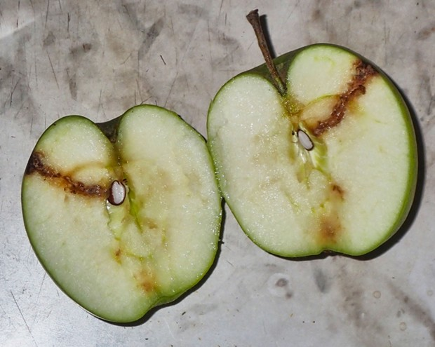 Apple damage from insects competing with me for the fruit of my trees. - PHOTO BY ANTHONY WESTKAMPER