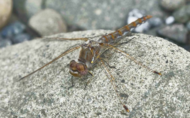 Since I started reporting them six years ago, variegated meadowhawks have been reported along coastal rivers as far away as Bodega during the winter. - PHOTO BY ANTHONY WESTKAMPER