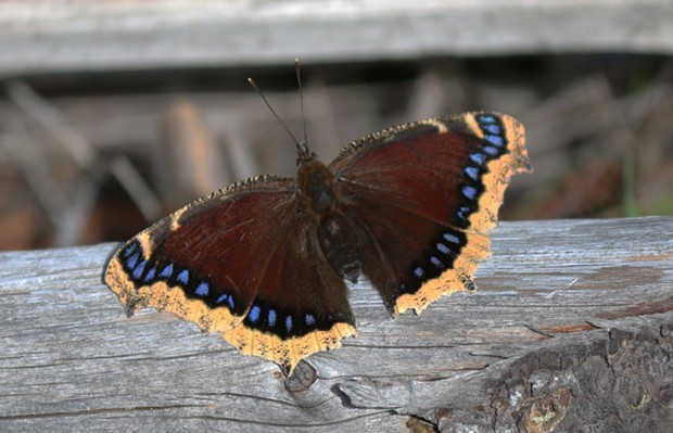 In England, the mourning cloak, known as the Camberwell beauty, emerges from its winter hiding place to frolic on warm winter days. - PHOTO BY ANTHONY WESTKAMPER